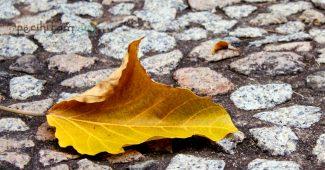 daun yang bershalawat