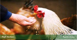 hukum qurban dengan ayam